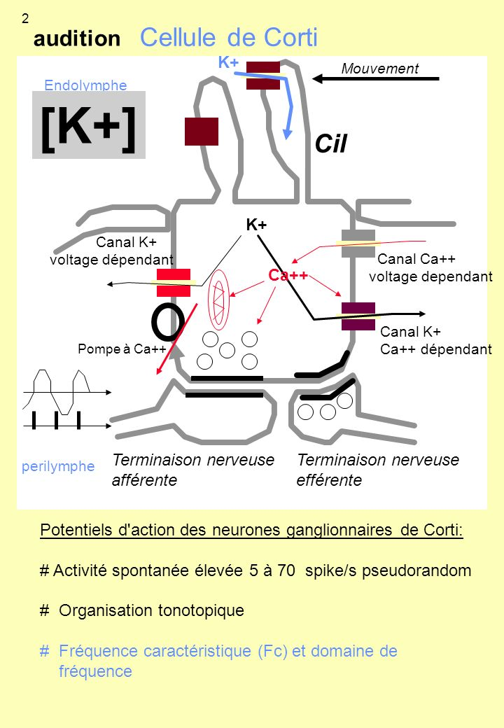 [K+] Cellule de Corti Cil audition K+ K+ Ca++ Terminaison nerveuse